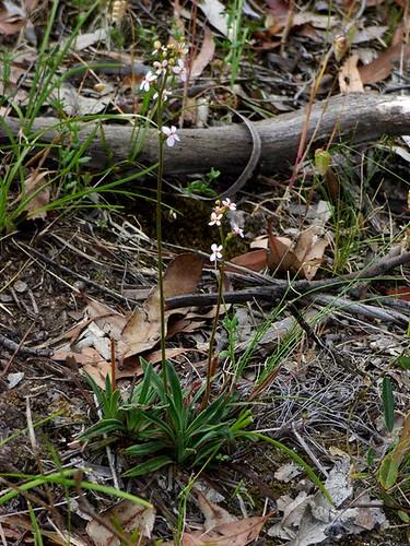 Stylidium armeria subsp pilosifolium