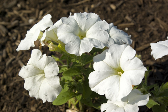 Petunia, UT Gardens, Knoxville, Knox Co, TN
