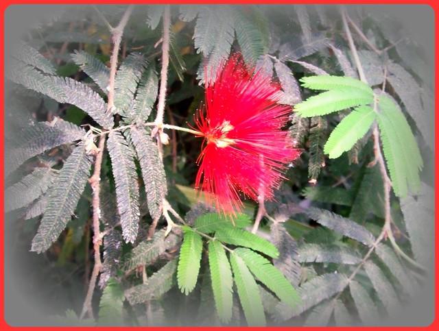 Mimoza-flower