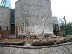 London Zoo hogs