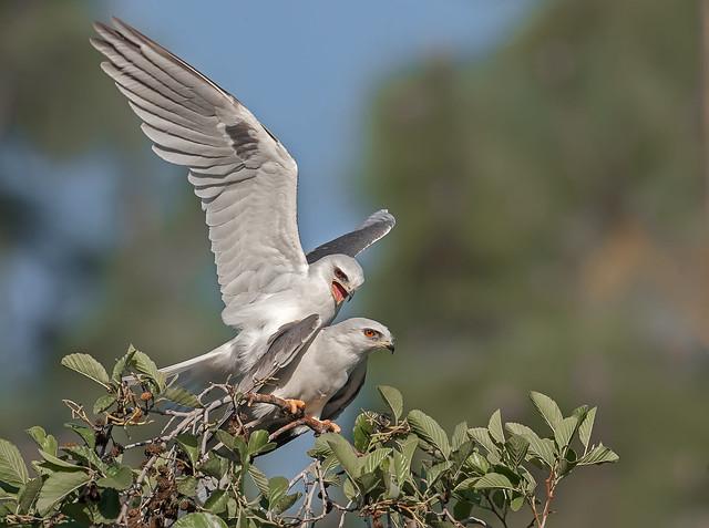kites mating