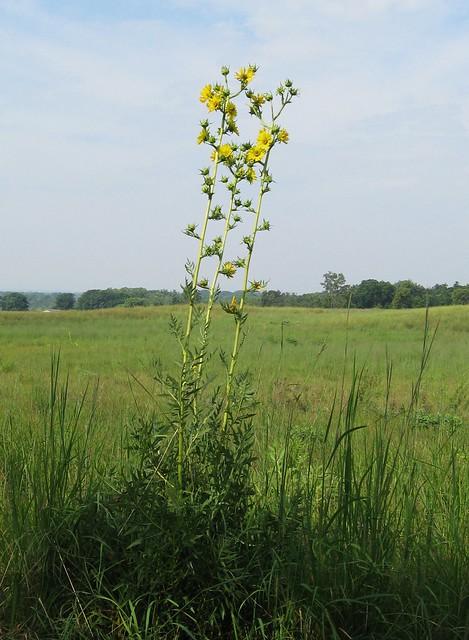 Compass Plant near Albany Illinois