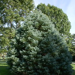 Sequoiadendron 'Hazel Smith' (2)
