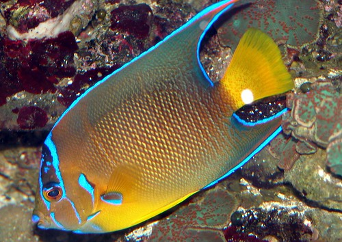 Queen angelfish | by keywest aquarium