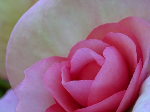 flower macro begonia carlzeissjenatessar50mmf28 panasoniclumixg1