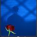 Shadow Roses by TARIQ-M