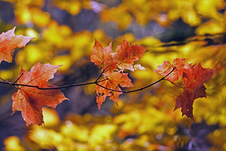 The Maple Leaves at the McMichael | by b.m.a.n.