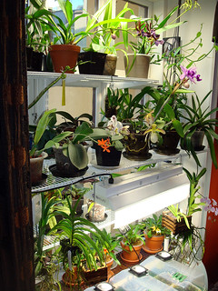 Orchid growing room | by orchidkarma
