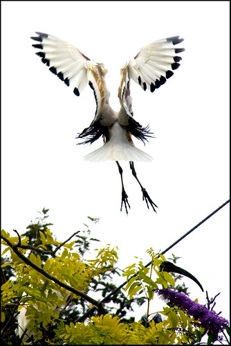 an ibis ... or two? | by John FotoHouse