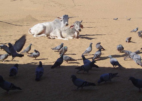 cows, pigeons, sand, shade, low | by everlutionary