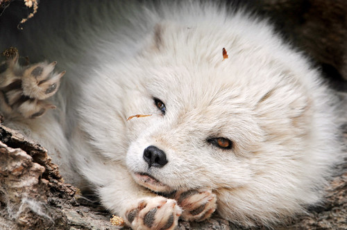 White fluffy cutie | by Tambako the Jaguar
