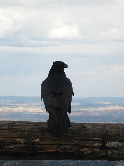 Raven enjoying the view at Bryce Canyon