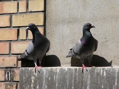 Pigeons | by zigazou76