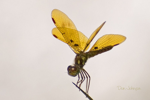 dragonfly eljobean harborlake