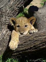 Lion cub on branches