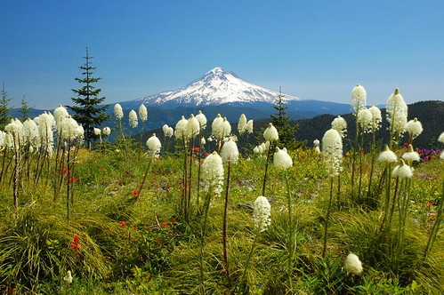 oregon hiking wildflowers beargrass mthoodnationalforest salmonhuckleberrywilderness myintyreridge