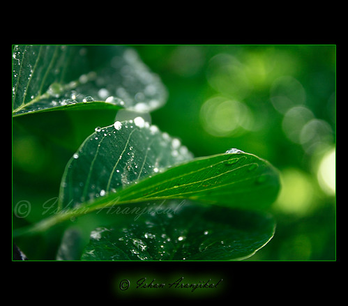 india macro nature wet water leaves rain forest canon leaf drops rainforest shine natural bokeh kittens drop pearls monsoon greens bombay raindrops bollywood pearl veins mumbai waterdrops rains glisten mahim bukeh 100d mywinners theunforgettablepictures mahimnaturepark dahek canon1000d ishanaranjikal magicunicornverybest magicunicornmasterpiece saawanbarse