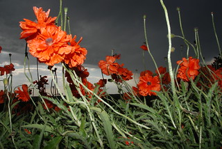 Poppies in the Storm | by petermankato