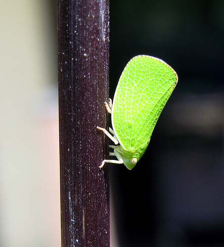 bug insect kansascity kansas leafhopper planthopper tonganoxie flatidplanthopper acanaloniidplanthopper acanalonia easternkansas acanaloniaconica