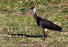 Straw-necked Ibis by Mister Troy