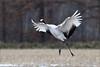 A red-crowned crane: a principal dancer ? by takashi muramatsu