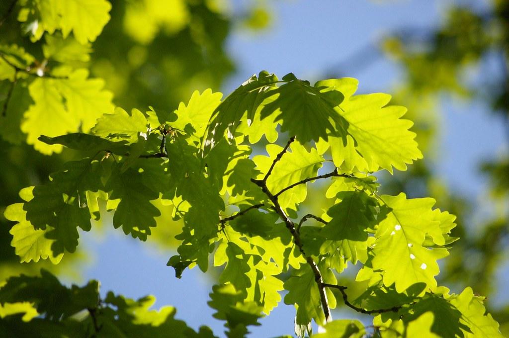 Dąbrowa / Oak grove