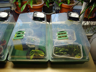 Flask baby nurseries in the orchid growing room   by orchidkarma