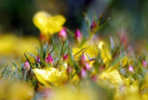 california flowers macro yellow pretty bokeh things explore fp thick ventura in nikkor50mm18 hbw nikond80