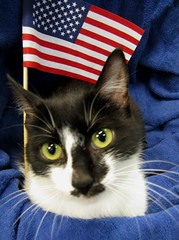 Basil, a Patriotic Young Girl Tuxedo & Black Mask Cat with American Flag