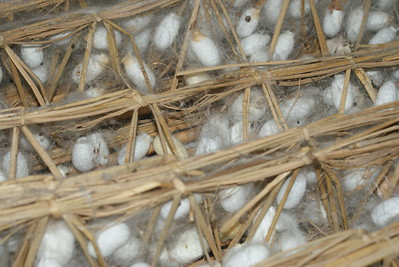 Cocoons, Silk Mill, Suzhou