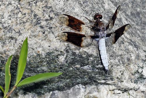 male insect dragonfly skimmer deercreek harfordcounty commonwhitetail plathemislydia canonef100mmf28macrousm bugguidenet