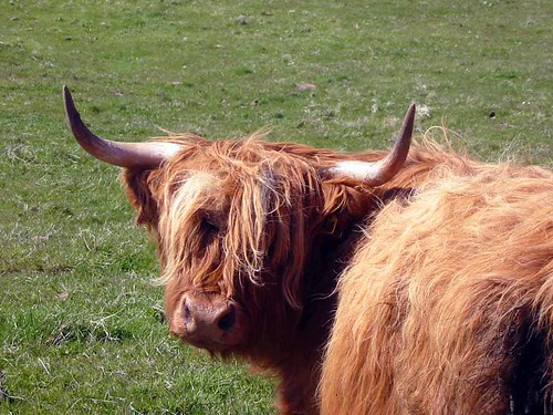 Highland cow | by Guy R