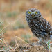 Kukumav / Little Owl / Athena noctua by muratacuner