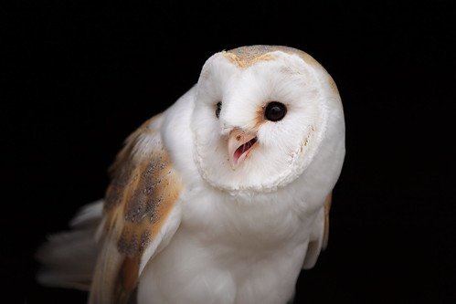 Barn owl, Barn Owl Centre Gloucester | Greg Morgan | Flickr