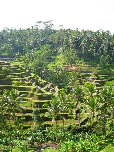 Balinese Rice Paddies | by muzaktherapy