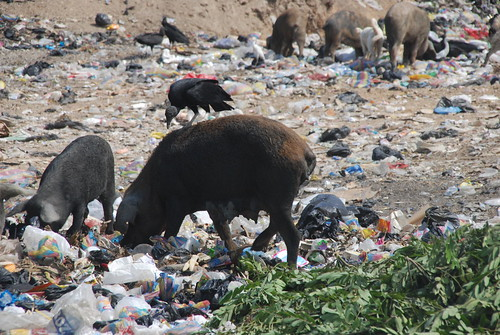 Chanchos Pigs Eating Basura Trash | by juliojeff123