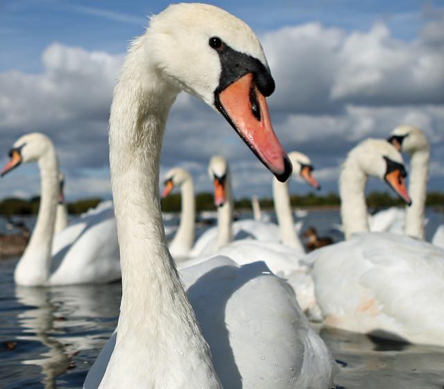 Swan :