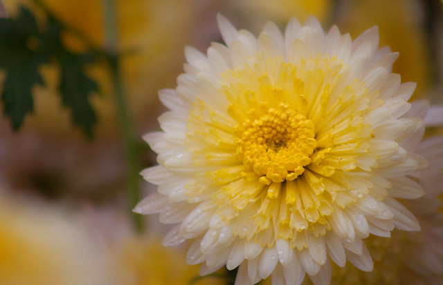 A stunning Japanese Chrysanthemum