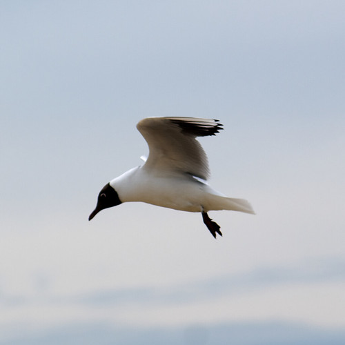 Sea Gull | by cobaltfish