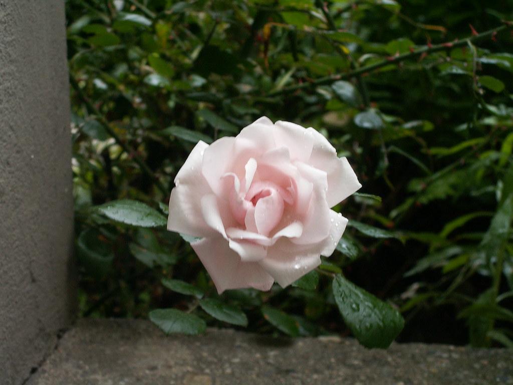 Rose in Dresden hoffe nicht, daß innerhalb dem Kreise, der den Erdball von dem Sternenfeld trennt, die Wonn uns je ihr himmlisch Antlitz weise! Ach! sie sinkt nicht bis zur Unterwelt! Alle diese schönen Luftgesichte sind vergangen 004