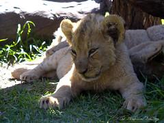 Lion cub getting asleep