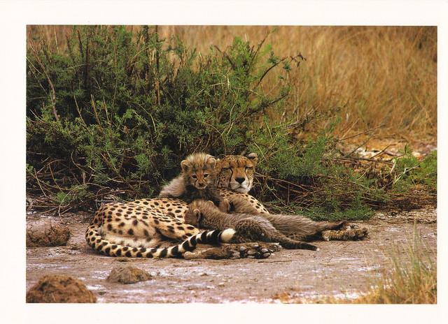 Cheetah Family Postcard
