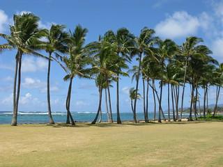 dancing trees - Kaua'i, Hawaii