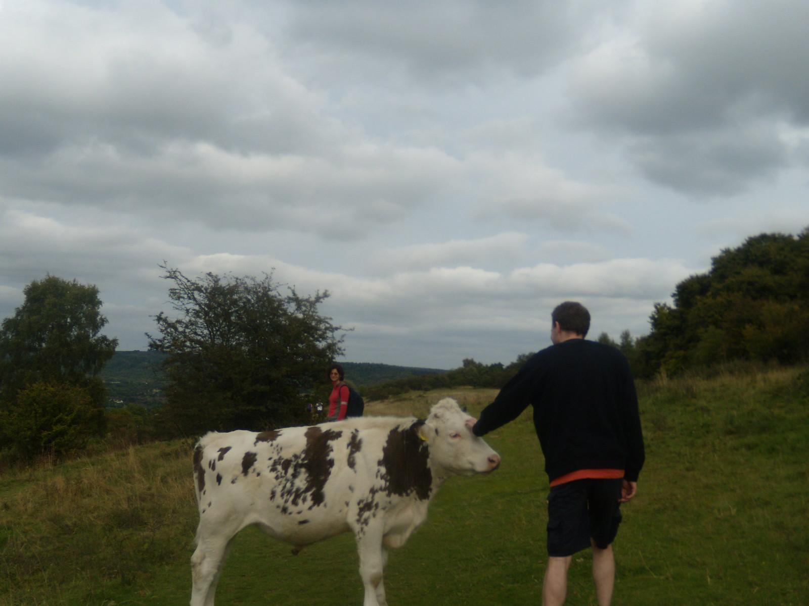 Tame cow Wendover Circular