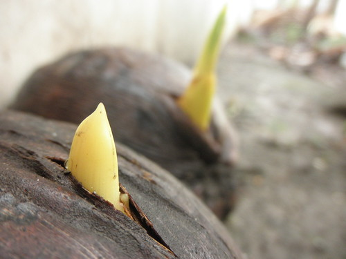 New Lives - MYD Coconut Seedlings | by thienzieyung