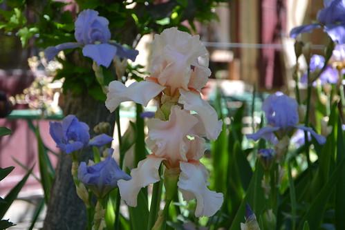 Nos Iris : floraisons 2012 - Page 3 32478679000_8c6f9c0882