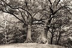 The old couple - Hampstead Heath
