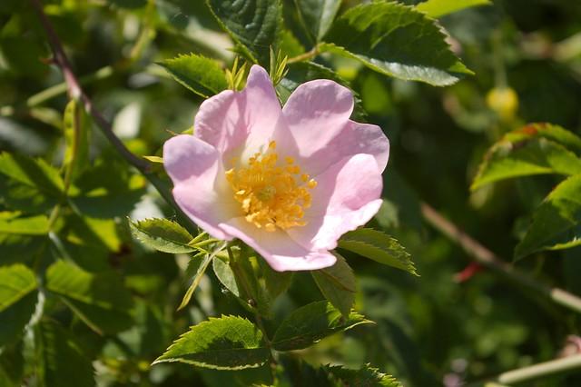 imgp9002 - Dog Rose