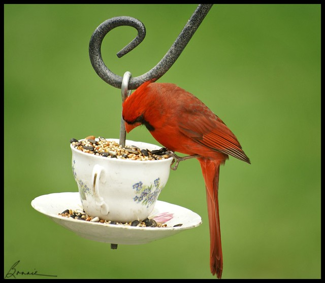 mr. cardinal is feeling a bit shy today or............