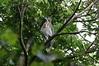 Sulawesi hawk-eagle (Spizaetus lanceolatus) by Réjôme